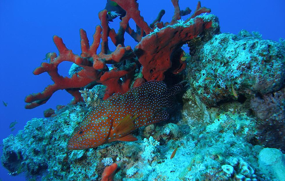grouper_on_coral