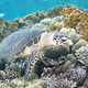 turtle_red_sea_