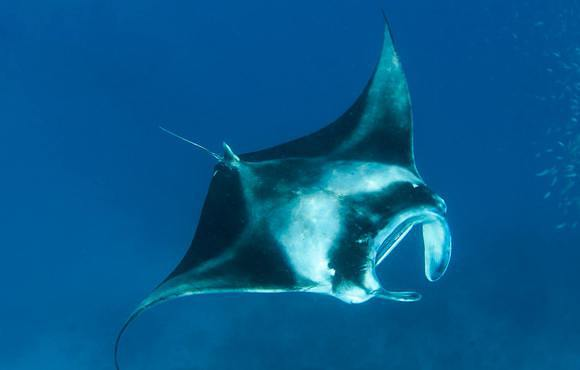 Mantas_on_MV_Orion