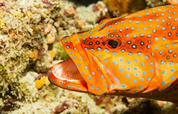 blue_spotted_fish