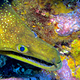 FANGTOOTH_MORAY_EEL