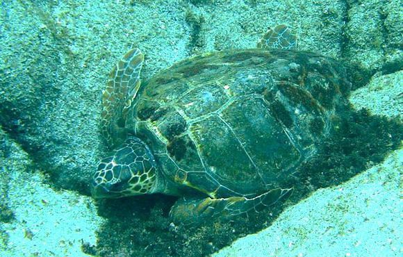 LOGGERHEAD_SEA_TURTLE_