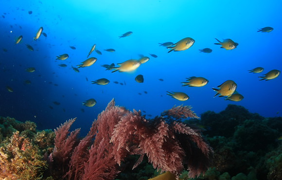 AZORES_DAMSEL_SHOAL_ON_ALGAE_REEF