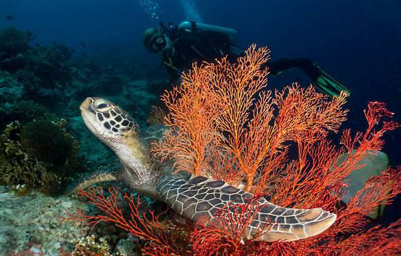 bali_turtle_in_coral