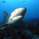 silky_shark_gordon_rocks