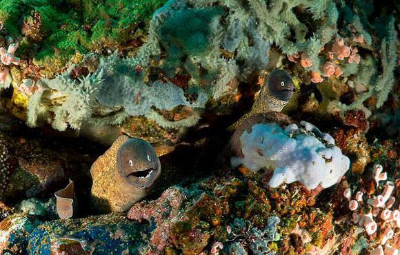 moray_eels_in_coral