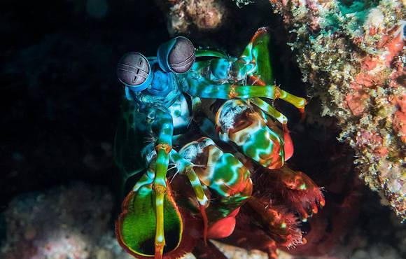 Peacock_Mantis_Shrimp