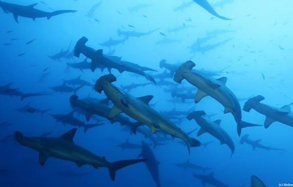 School_of_thousands_of_Hammerhead_sharks