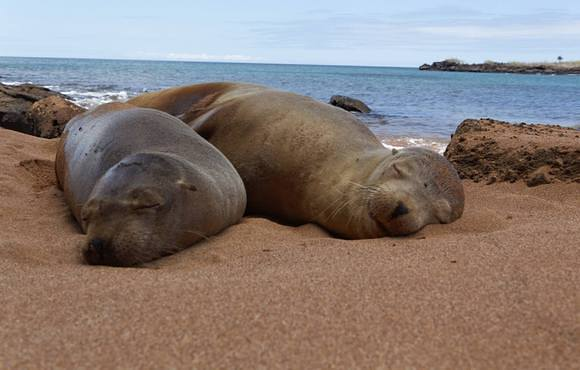 sea_lion_on_beach_galapagos
