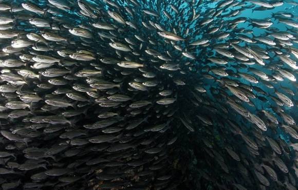 Huge_school_of_fish_-_Galapagos