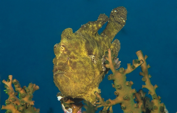yellow_frog_fish_philippines