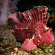 scorpion_leaffish