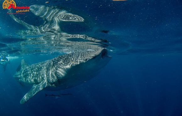 Snorkeling_with_whale_sharks_Isla_Mujeres