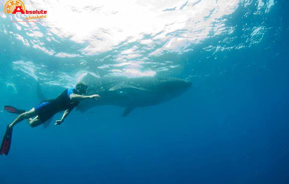 whale_shark_snorkel_isla_mujeres