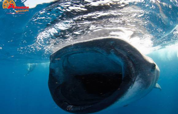 Whale_shark_snorkeling_tour
