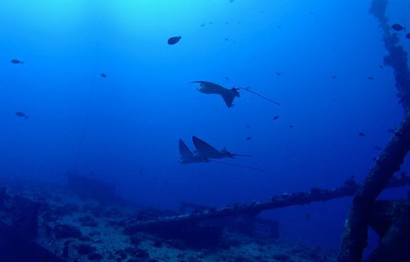 eagle_rays_on_wreck