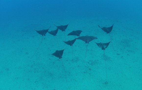 eagle_rays_squadron_hawaii