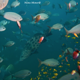 goliath_grouper_surrounded_by_fish