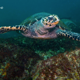 turtler_on_reef_south_africa