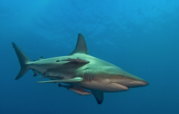 black_tip_reef_shark_unkomaas