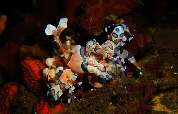 harlequin_shrimp