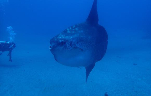 Mola_mola__Roundtailed_or_Common_mola_
