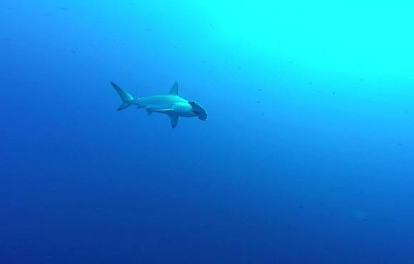 hammerhead_red_sea
