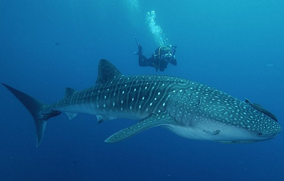 Diver_With_Whale_Shark
