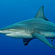 black_tip_reef_shark_south_africa