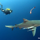 Bull_Shark_on_Protea_Banks
