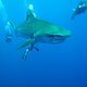 tiger_shark_in_blue