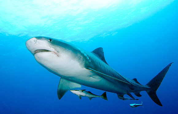 tiger_shark_south_africa