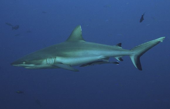 grey_reef_shark_palau