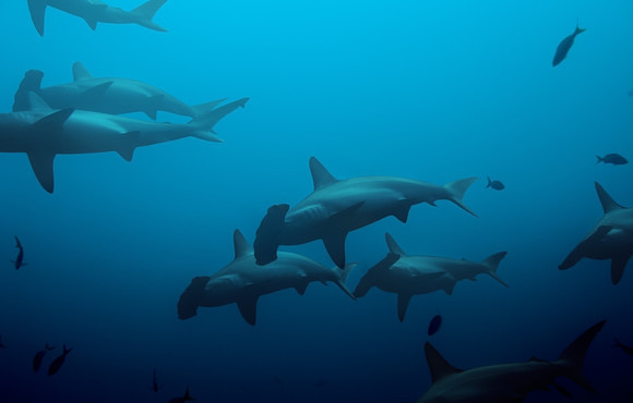 arge_school_of_hammerhead_sharks