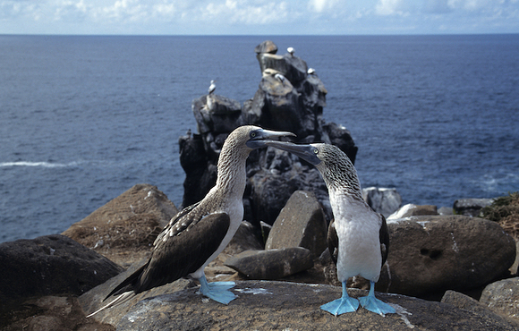 blue_footed_boobies_galapagos