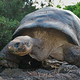 giant_turtle__galapagos_