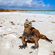 marine_iguana_on_beach