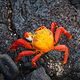 red_crab_on_black_rock