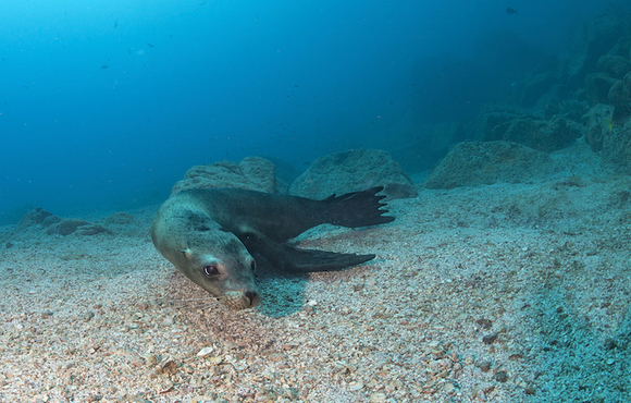 sea_lion_underwater