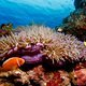 clown_fish_on_pink_anemone