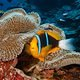 clown_fih_on_anemone