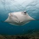 manta_in_shallow_water