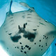 white_belly_of_manta_ray