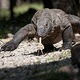 Komodo_Dragon_2