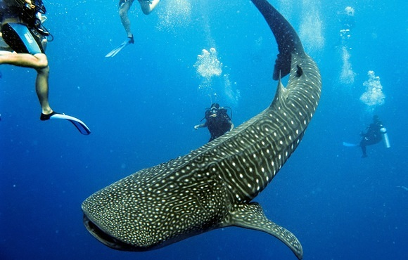 Whalesharks_and_divers
