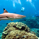 Black_Tip_Reef_Shark